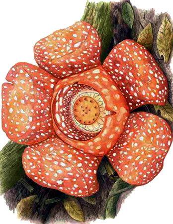 Rafflesiaceae.jpg